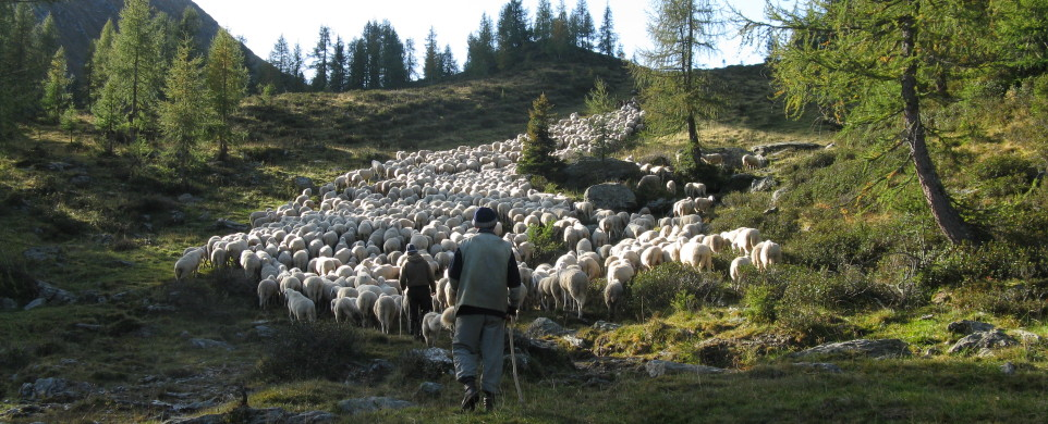 Greggi sulle Dolomiti